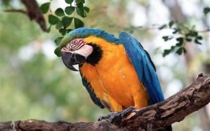 Un perroquet oriente l'enquête