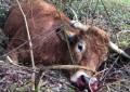 Une vache abattue de 70 balles par des policiers